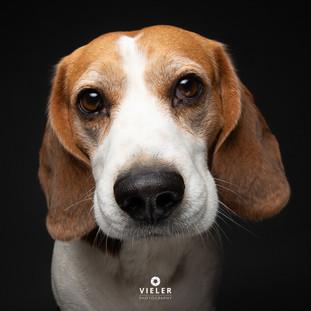 Paule-the-Beagle-67.jpg