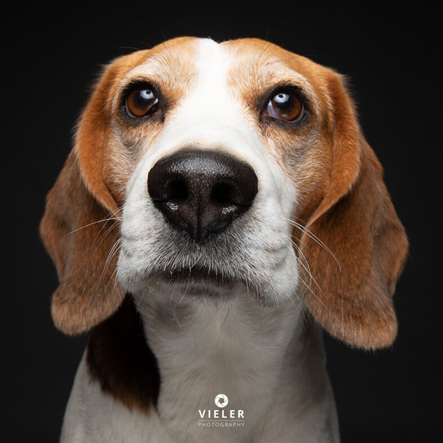 Paule-the-Beagle-49.jpg