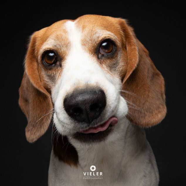 Paule-the-Beagle-65.jpg