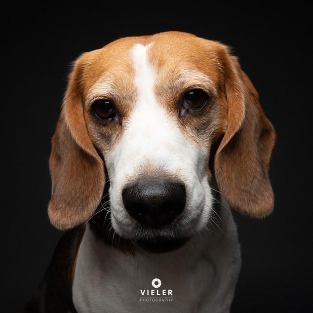 Paule-the-Beagle-58.jpg