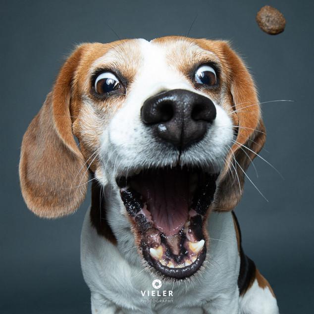 Paule-the-Beagle-33.jpg