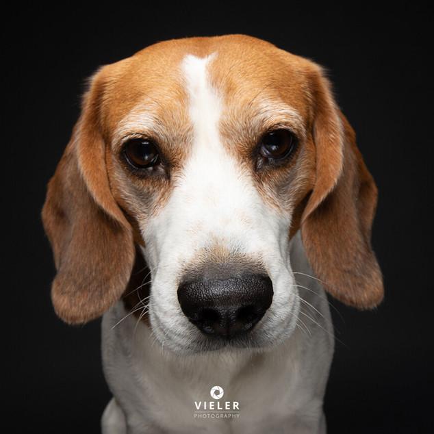 Paule-the-Beagle-60.jpg