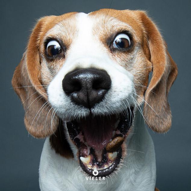 Paule-the-Beagle-36.jpg