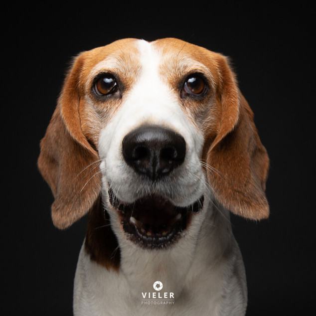 Paule-the-Beagle-53.jpg