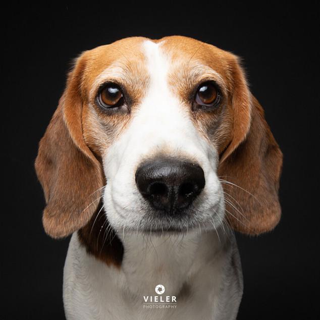 Paule-the-Beagle-56.jpg