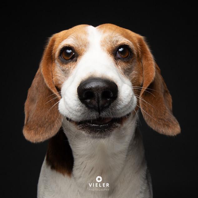 Paule-the-Beagle-57.jpg