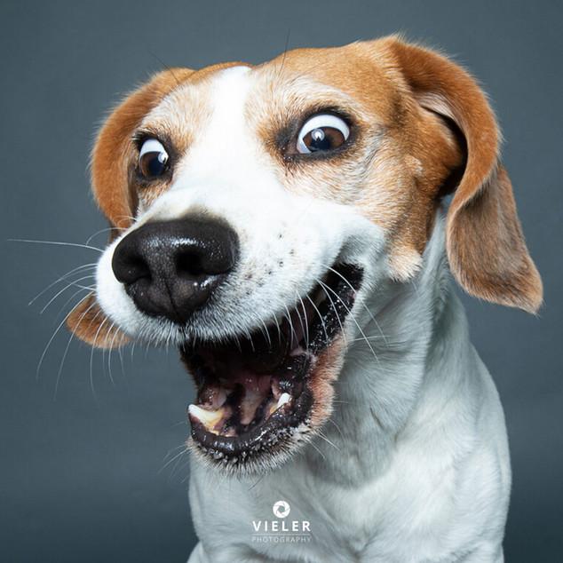Paule-the-Beagle-11.jpg