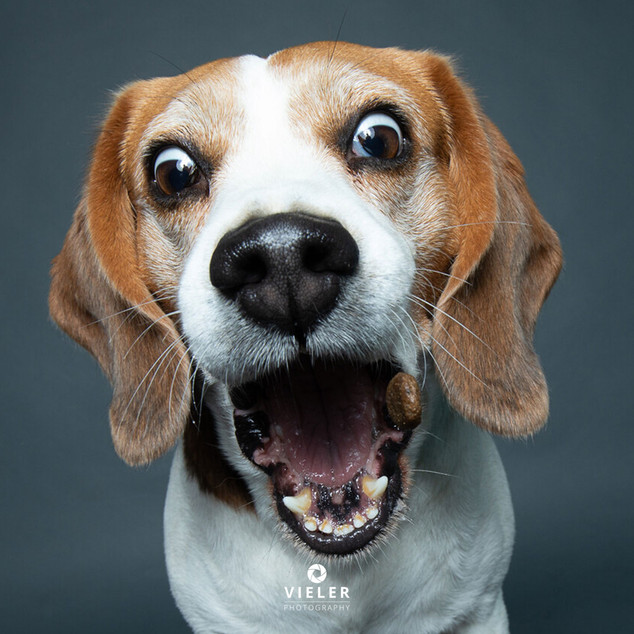 Paule-the-Beagle-41.jpg