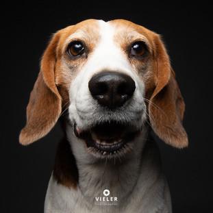 Paule-the-Beagle-50.jpg
