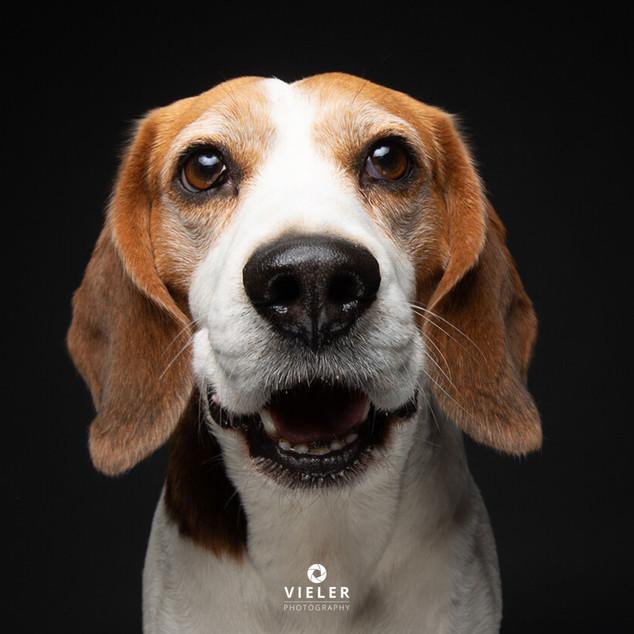 Paule-the-Beagle-54.jpg