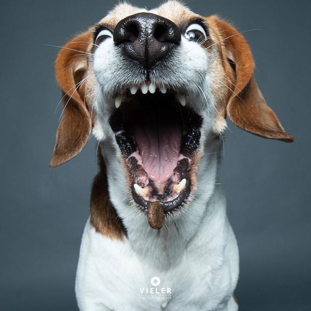Paule-the-Beagle-08.jpg