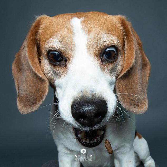 Paule-the-Beagle-35.jpg