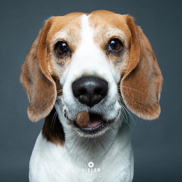 Paule-the-Beagle-42.jpg