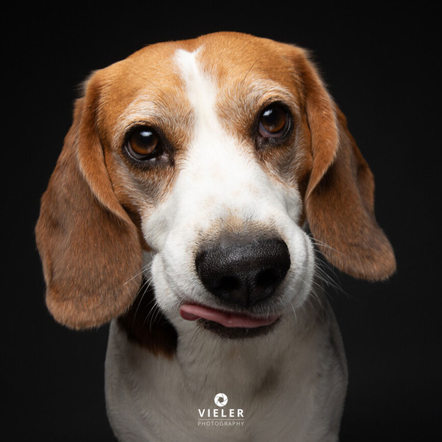 Paule-the-Beagle-66.jpg