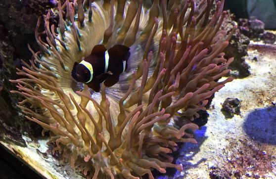 Maroon clownfish at Georgia Tech - an interesting model for host-microbe relationships (e.g., Parris et al. 2018, Appl Environ Microbiol)