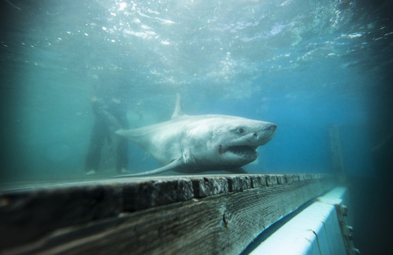 We've partnered with OCEARCH and Georgia Aquarium to explore the microbes living on great white sharks. Nantucket 2019. Photo: OCEARCH.