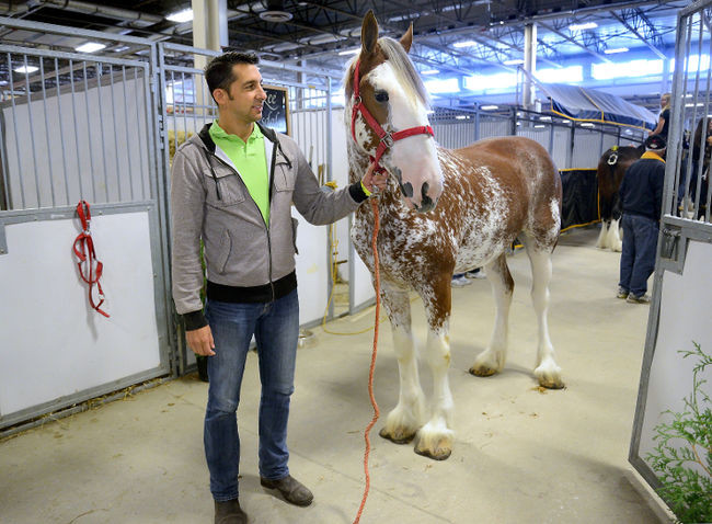 Benjamin Arnold-Ladensack at the World Clydesdale Show