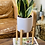 Thumbnail: סנסווריה זהובה;כלי לבן חרס עם רגלי עץ