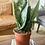 Thumbnail: סנסווריה מגוונת וסנסווריה ירוקה עלה רחב