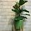 Thumbnail: פיקוס כינורי; כלי חרס ירוק ים רגלי עץ