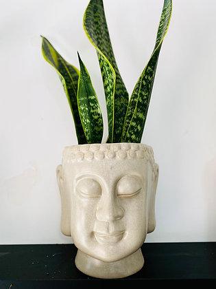 סנסווריה,בודהה