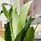 Thumbnail: סנסווריה לבנה;כלי חרס טרצו