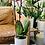 Thumbnail: סחלב חגיגי;כלי לבן טרצו עם תחתית