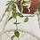 Thumbnail: בת שבע עציץ 18