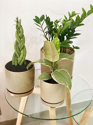 מיקס צמחי ג'ונגל; כלי חרס טרצו