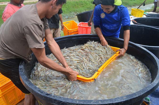 shrimp harvest indonesia.jpg