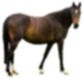 horse-clip-art-clear-background-9.png