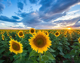 landscape photo sunflower photo