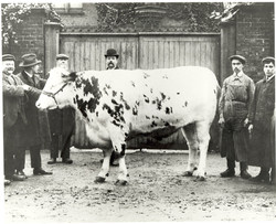 Prize Bull with men.