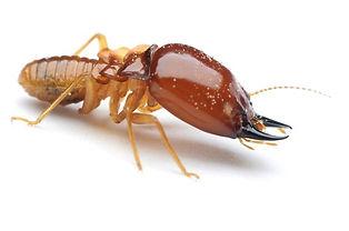 termites_edited.jpg