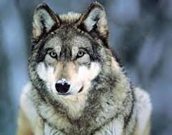 Protection du Loup