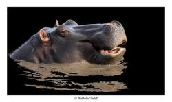 Hippopotame 1