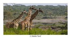 Girafe Massai