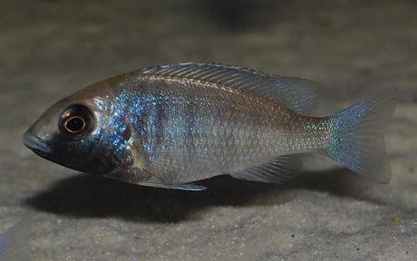 Placidochromis phenochilus gissel Gome