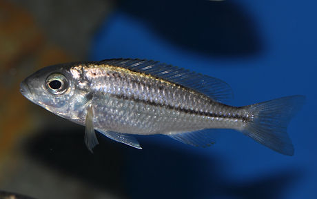 Nyassochromis prostoma Senga Bay