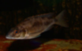 Otopharynx lithobates Maleri Island