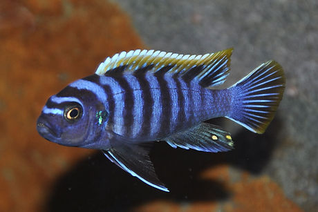 Cynotilapia zebroides red top Likoma