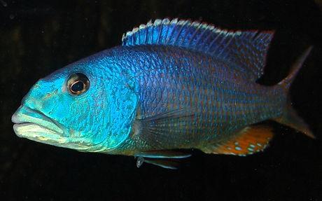 Aristochromis christyi Cobwe
