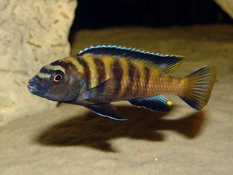 Pseudotropheus flavus.BMP