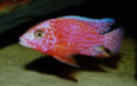 Aulonocara sp. firefish (3).JPG