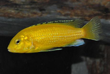 Labidochromis caeruleus Lion's Cove 0,1.