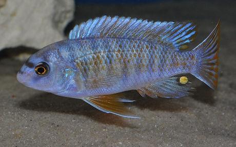 Labeotropheus fuelleborni OB Minos Reef