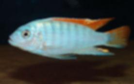 Metriaclima greshakei Makokola Reef