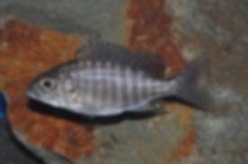 Aulonocara ethelwynnae Chitande Island