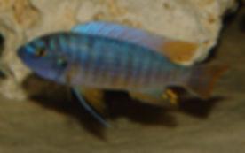 Labeotropheus fuelleborni Katale