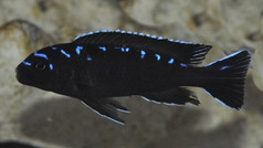 "Pseudotropheus elongatus spot ""Hai Reef"""